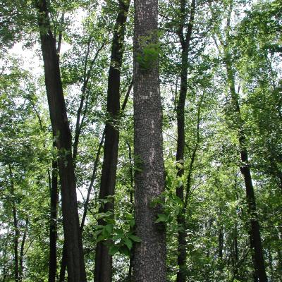 Ash trees with signs