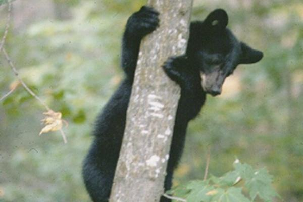 bear cub in tree